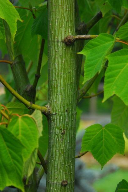 벌나무 효능