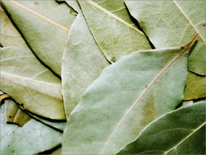 월계수잎 부작용