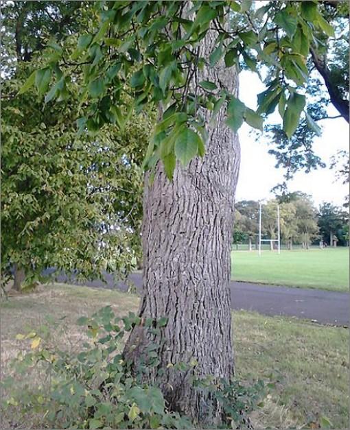 느릅 나무