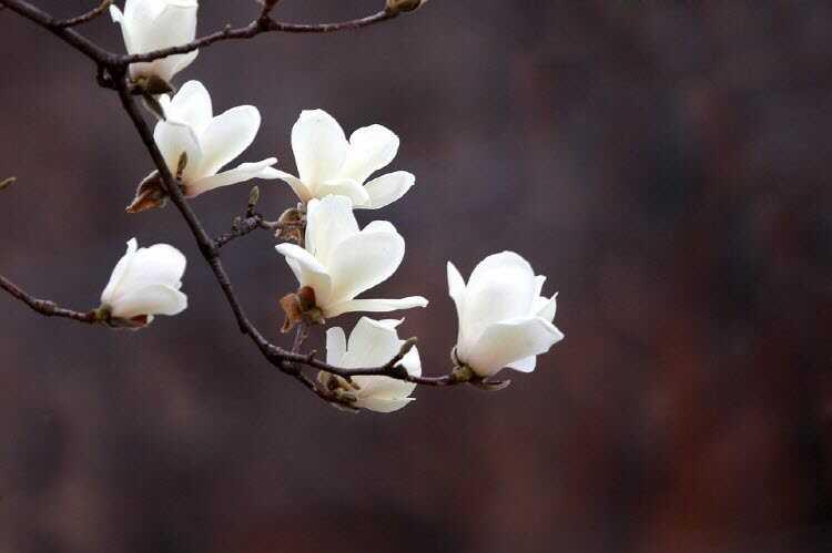 목련꽃차 효능